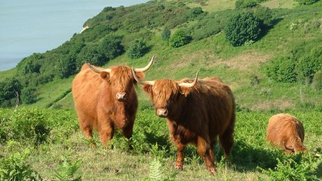 Highland cattle at Hastings Country Park Nature Reserve
