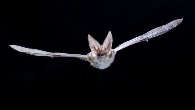 Grey long-eared bat (c) Anton Alberdi