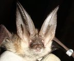 Grey long-eared bat (c) Daniel Hargreaves/ Bat Conservation Trust