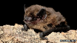 Common pipistrelle (c) Hugh Clark/ Bat Conservation Trust