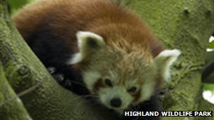 Babu the Red Panda
