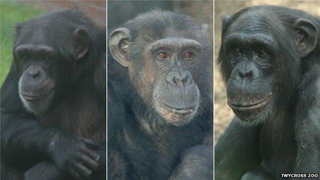 Chimps at Twycross Zoo