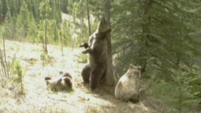 Bears scratching