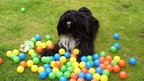 Dog surrounded by plastic balls in the garden