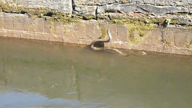 Grass snake at Caen Hill lock