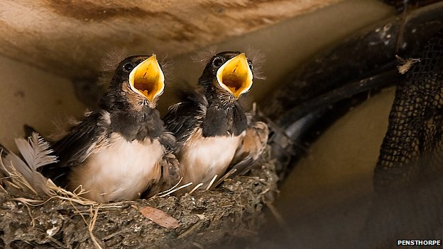 Swallow chicks in Pensthorpe Land Rover