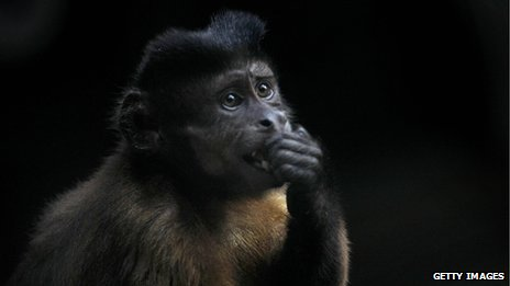 Brazilian capuchin monkey (file)