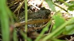 Common frog in the undergrowth