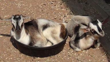 Arapawa Goats