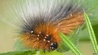 Garden tiger moth caterpillar / Kevin Loader