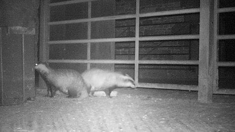 Badger surveillance