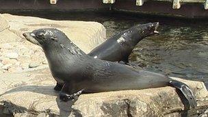 South American fur seals at Bristol Zoo