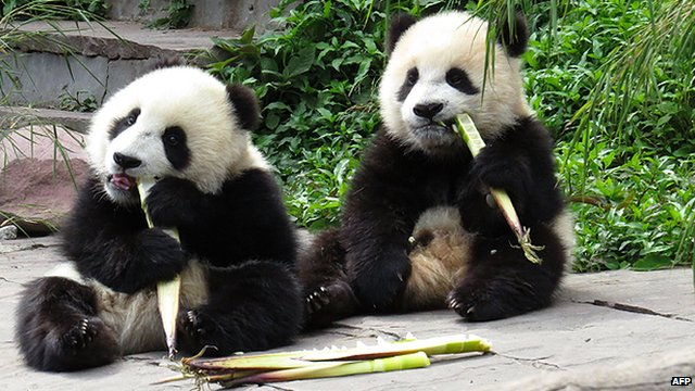 (File photo) Giant pandas near the China Conservation and Research Centre