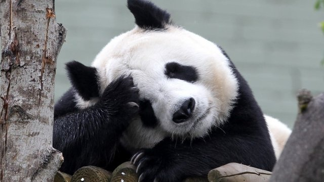 Tian Tian the Panda in her enclosure at Edinburgh Zoo