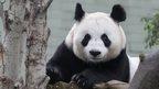Tian Tian the panda