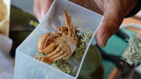 A molted crab