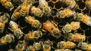 Honeybees surround a queen on honeycomb