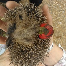 Hedgehog stuck in Christmas bauble