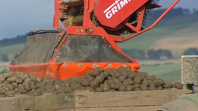 Potatoes being harvested