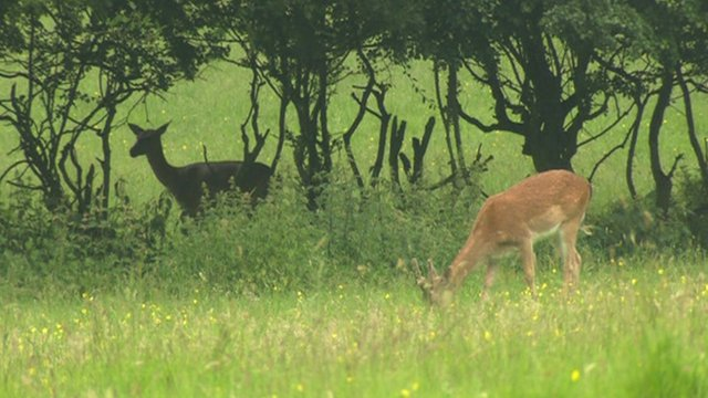 Deer in Havering