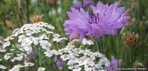 Urban wildflower meadow (Image courtesy of Nadine Mitschunas/University of Reading/Urban Pollinators Project)