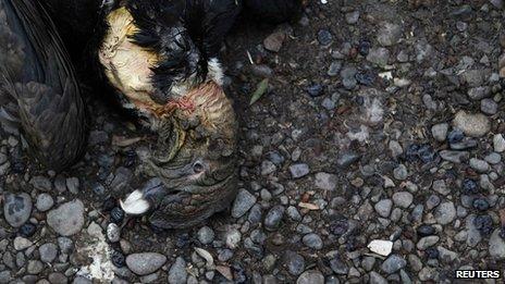 Dead Andean condor