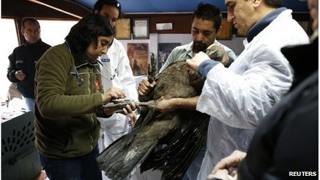 Andean condor being treated