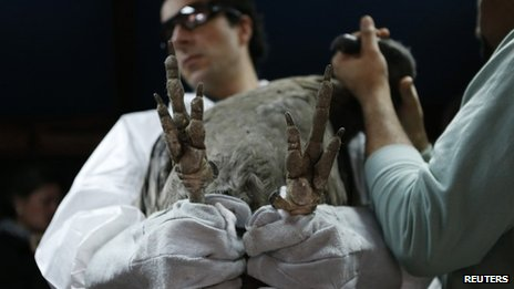 Veterinaries hold Andean condor