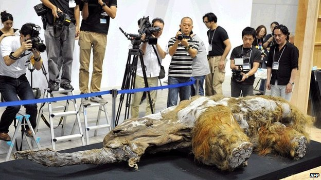 Yuka mammoth. Image (c) AFP from http://www.bbc.co.uk/news/science-environment-23602142