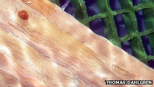 Pristine wood