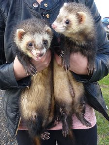 Ferrets Tootsie and Lucky
