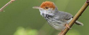 Tailorbird