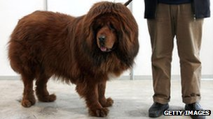 A Tibetan mastiff is displayed at a Tibetan Mastiff exposition on 27 February, 2005 in Longfang, southeast of Beijing, China.