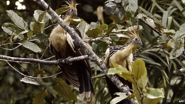 Two hoatzin perch on a tree in the Ecuadorean Yasuni National Park,