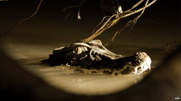 A cuvier's dwarf caiman in a lake, in the Ecuadorean Yasuni National Park,  - 2012