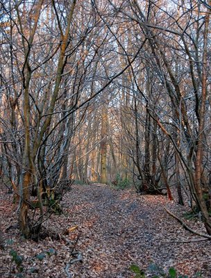Avenue of coppiced trees (Image: BBC)