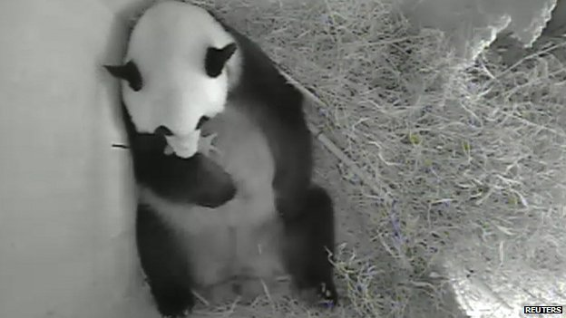 Giant panda Yang Yang holds her newborn cub inside a birth box at Schoenbrunn zoo in Vienna, Austria.