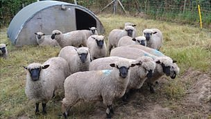 Shropshire sheep in Guernsey