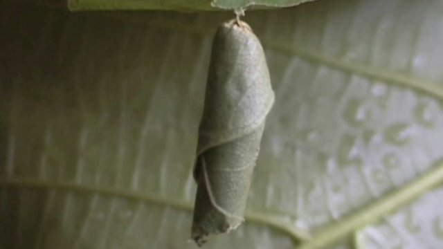 Calindoea trifascialis caterpillar in a leaf