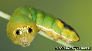 Silkmoth caterpillar