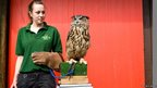 Max, a Eurasian Eagle Owl being weighed