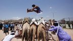 A Bedouin man jumps over camels