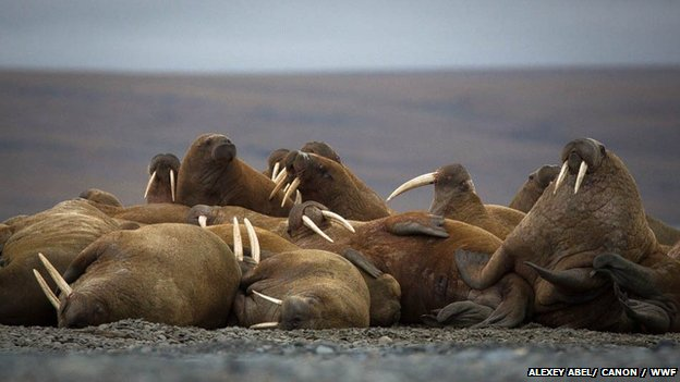 A haul-out of Laptev walruses