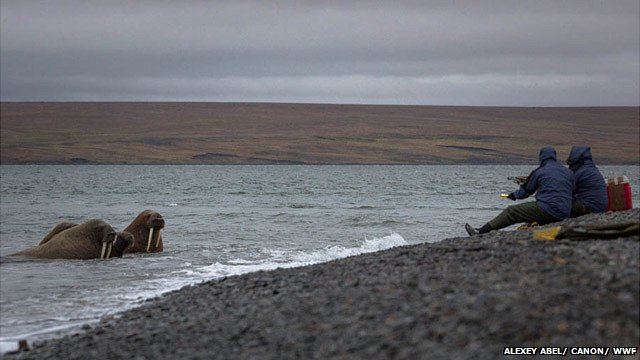 Walrus in Taimyr Peninsula