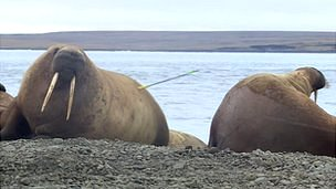 Walrus with dart in hide