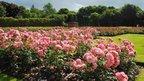 roses in Aberdeen