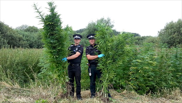 Officers with cannabis plants on the Norfolk Broads