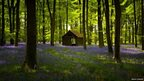 Cabin surrounded by bluebells, Embley Woods, Hampshire
