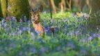 Roe deer, Garston Woods, Dorset