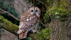 Tawny owl, Rough Hill Wood, Warwickshire